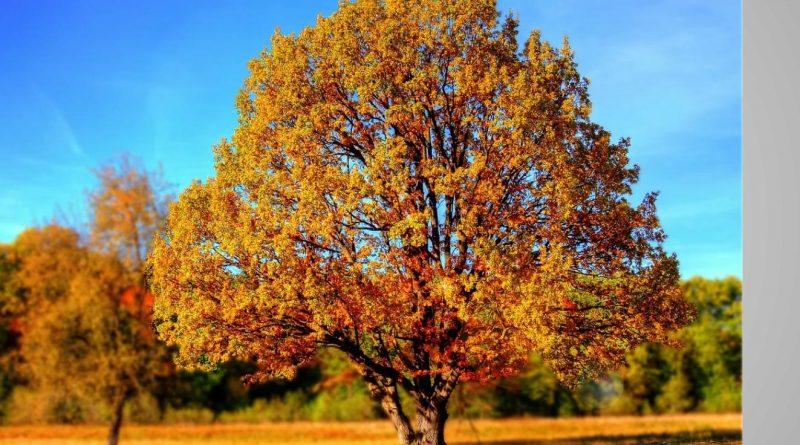 Klimaatboom zoekt tuin